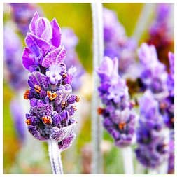 LAVENDER BULGARIAN OIL (BULGARIA) - 100% PURE ESSENTIAL OIL (STEAM DISTILLED) - AROMATHERAPY GRADE - (LAVENDULA ANGUSTIFOLIA)