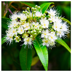 LEMON MYRTLE OIL (AUSTRALIA) - 100% PURE ESSENTIAL OIL (STEAM DISTILLED) - AROMATHERAPY GRADE - (BACKHOUSIA CITRIODORA)