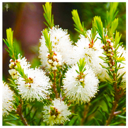 TEA TREE OIL (AUSTRALIA) - 100% PURE ESSENTIAL OIL (STEAM DISTILLED) - AROMATHERAPY GRADE - (MELALEUCA ALTERNIFOLIA)